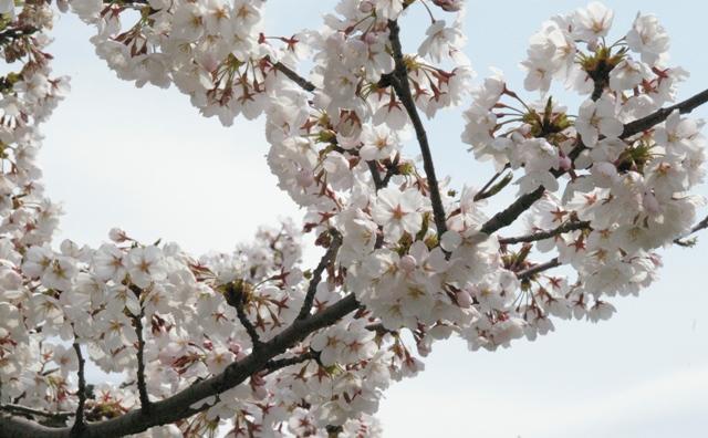 山形市の桜