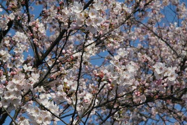 最上川の桜