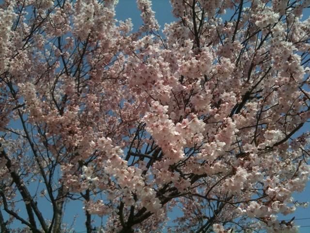 アルカディアの桜