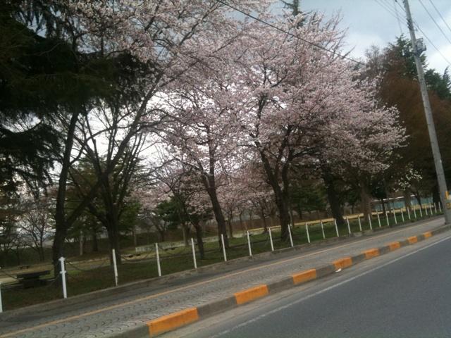 米沢市北村公園の桜