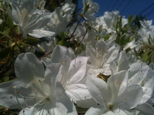 庭の白つつじ