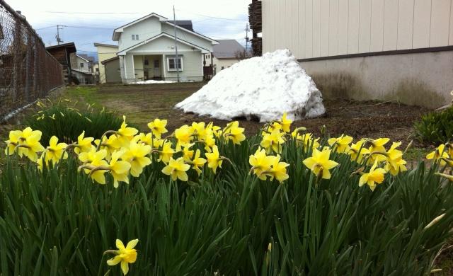 残雪と水仙